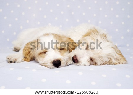 Two sleepy Bichon Frise cross puppies laid on a baby blue spotted background