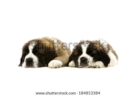 Two sleepy St Bernard puppies together isolated on a white background