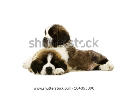 Two sleepy St Bernard puppies together isolated on a white background - stock photo