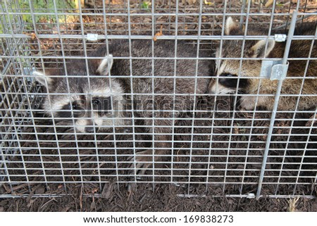 Two small American raccoons (Procyon lotor) caught in a live trap in a homeowners back yard