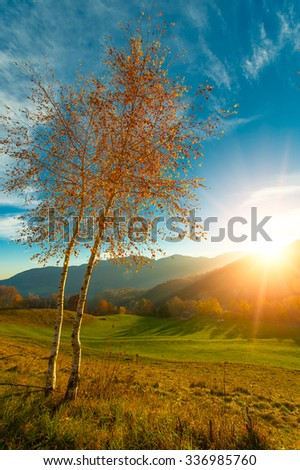Two small birch trees in autumn sun in the meadow