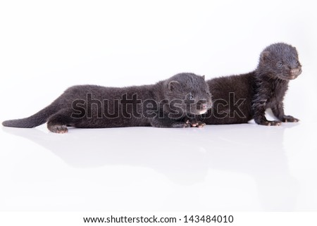 two small black animals mink on a white background - stock photo