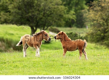 Two small brown Shetland pony's in a field - stock photo