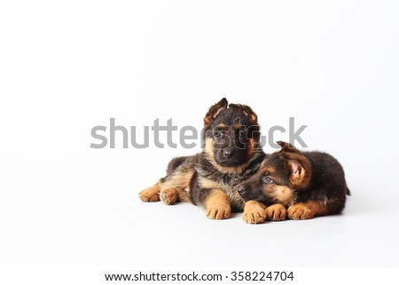 two small cute german shepherd puppies laying on white background and looking straight into the camera. - stock photo