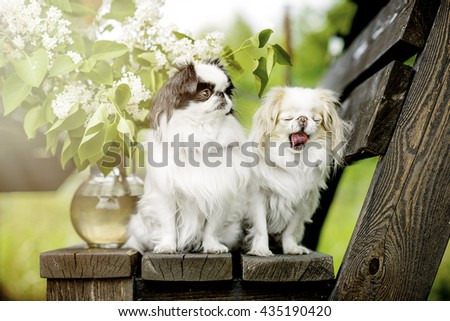 Two small dog breeds the Japanese chin on the nature