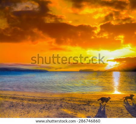 two small dogs running on the beach at sunset in Sardinia - stock photo