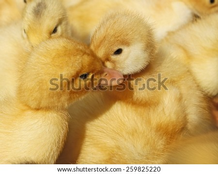 Two small funny yellow ducklings among herds - stock photo