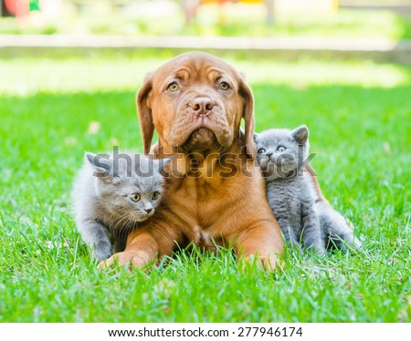 Two small kittens sitting on green grass with Bordeaux puppy dog - stock photo