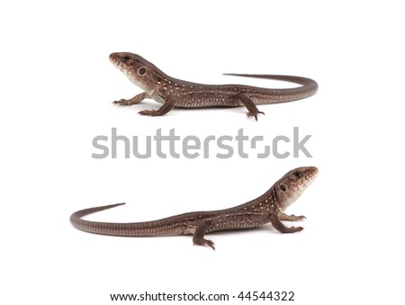 Two small lizard on a white background