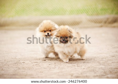 Two small Pomeranian Spitz puppies playing outdoors - stock photo