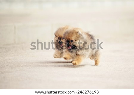 Two small Pomeranian Spitz puppies playing together outdoors