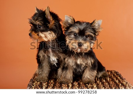 Two small puppies on a box on orange background - stock photo