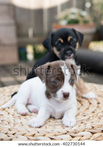 Two Small Puppies Playing on Woven Ottoman Outside on Wooden Deck