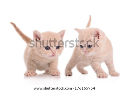 two small red kitten Scottish breed. animal isolated on white background - stock photo