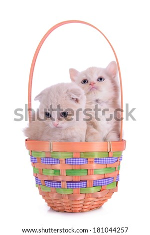 two small red kittens Scottish breed in basket. animal isolated on white background