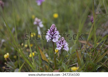 Two small spotted orchids (Dactylorhiza) growing among low vegetation at wet meadow in Norway. - stock photo