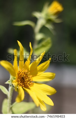 Two small sunflowers in residential garden.