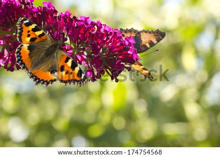 Two Small tottoiseshell butterflies on Butterfly bush in the garden in summer with bokeh background and copyspace - stock photo