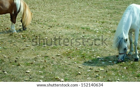 Two small young pony horses feeding with copy space  - stock photo