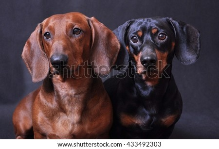 Two smooth haired Dachshunds on a dark gray background
