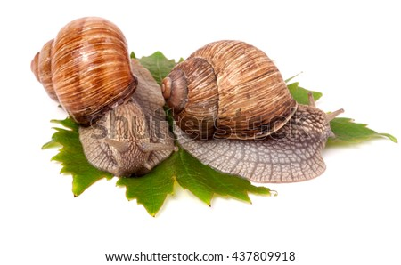two snails crawling on the grape leaves white background