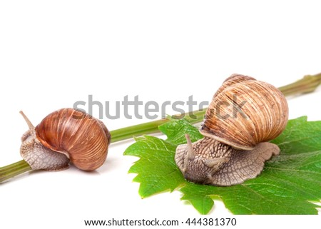 two snails crawling on the vine with leaf on a white background. - stock photo