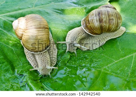 Two snails drink water on a background of green leaves. - stock photo