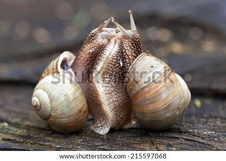 Two snails in tight connection - stock photo