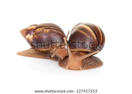 Two snails isolated on white background, closeup photo