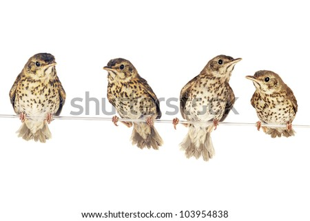 two song thrush  on a white background - stock photo