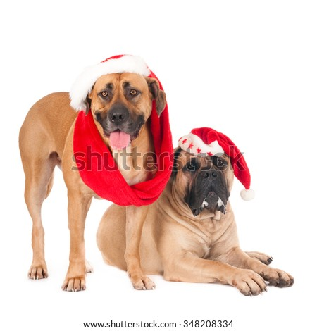 Two South African mastiff dogs (boerboels) with Santa hats against a white background - stock photo