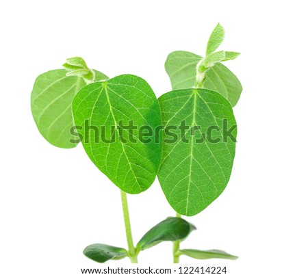 Two soy plants isolated on white background - stock photo