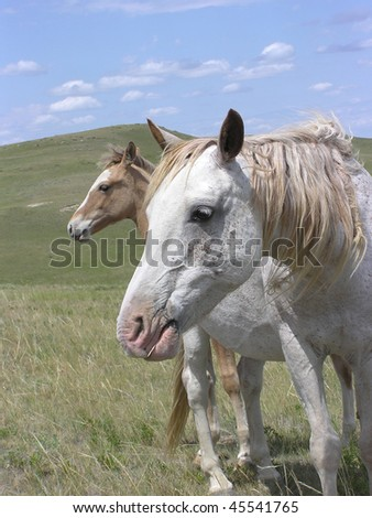 Two Spanish Mustangs mare and foal together in the pasture. Just faces