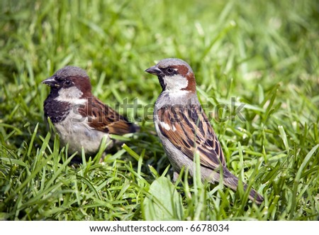 Two sparrows in a grass in summer