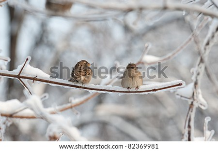 Two sparrows on the tree with ice - stock photo