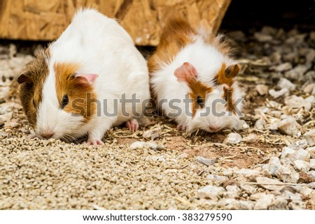 Two spotted guinea pigs sitting near its house - stock photo