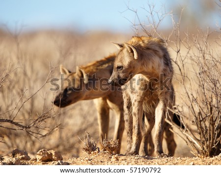 Two Spotted hyaena (Crocuta crocuta) in savannah in South Africa