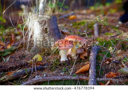 Two spotted toadstools in the autumn woods