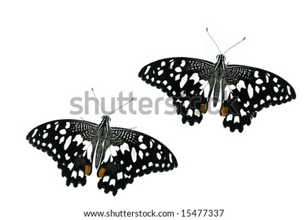 Two spotty butterflies on white ground