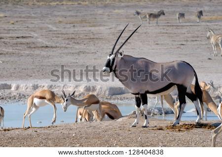 Two Sprinbok fighting and Orix (Gemsbok), Nebrownii waterhole, Etosha National Park, Namibia - stock photo