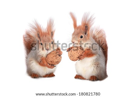 two squirrel holds a walnut on a white background - stock photo