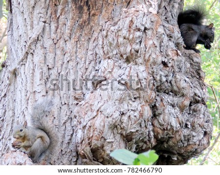 Two squirrels on a tree in High Park of Toronto, Canada,