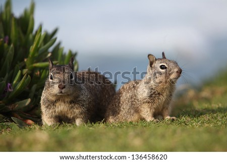 Two squirrels on the field - stock photo