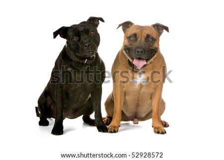 two Staffordshire Bull Terrier dogs in front of a white background