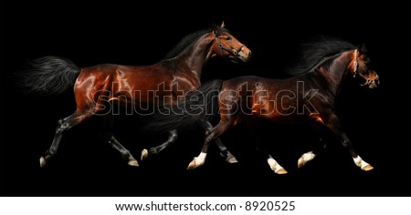 two stallions trot - isolated on black - stock photo
