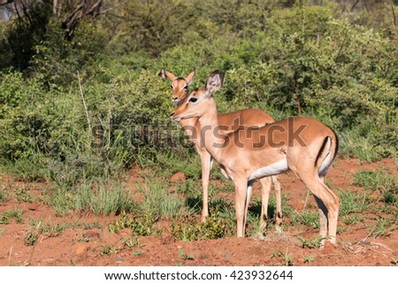 Two standing female Impala (Aepyceros melampus) in Pilanesberg, South Africa