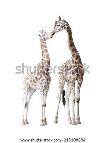 Two standing giraffes - stock photo