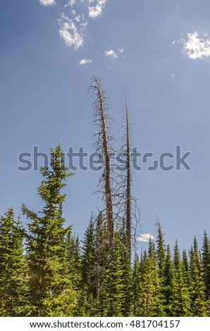 Two stark, bare trees towering over a forest of evergreens against a blue sky with a few wisps of clouds