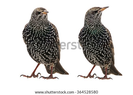 Two  Starling (Sturnus vulgaris) isolated on white. Studio shot.