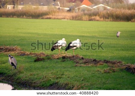 Two storks in a meadow - stock photo